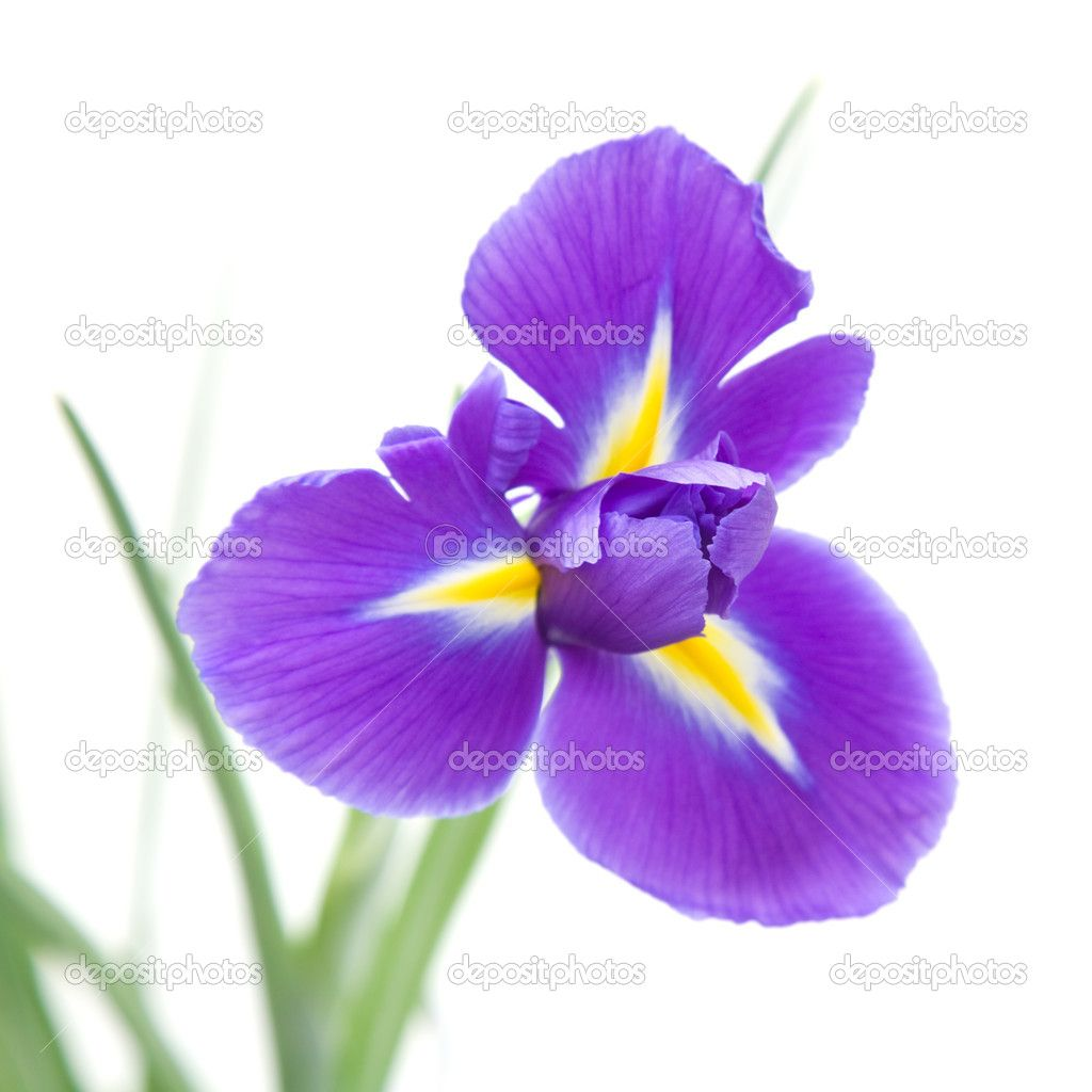 Iris Flower Images Google Search Other Pinterest Flower Images