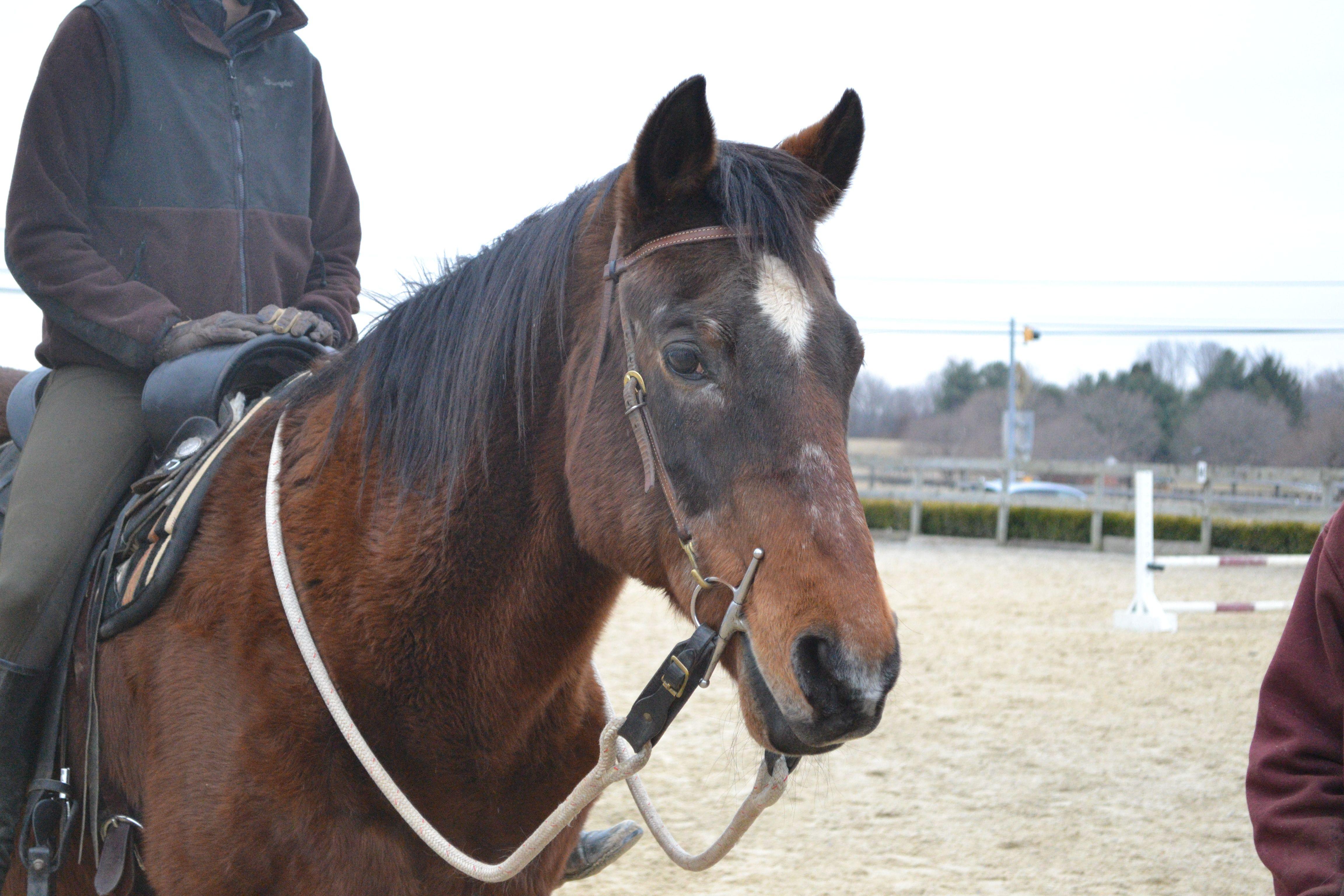 Charming Chester Horses Quarter Horse Gelding