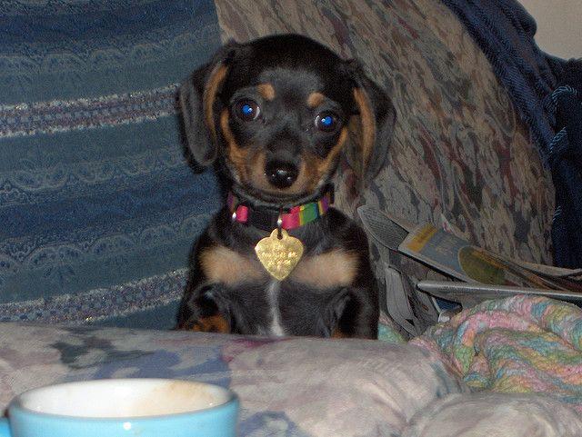 Dachshund Chihuahua Chiweenie Chiweenie Puppies Designer