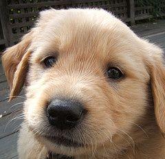 cute golden retriever puppy Puppies, Puppy biting