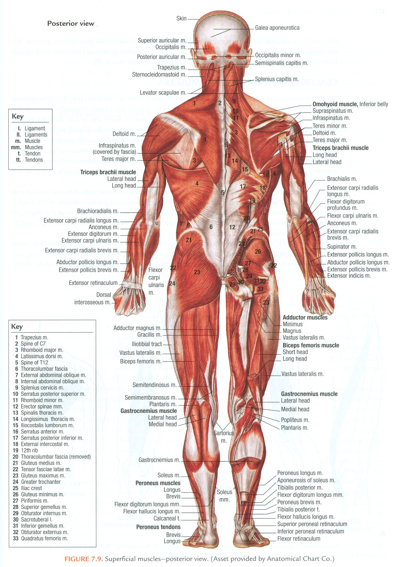 Muscles of the human body (superficial, posterior view) | Physical ...