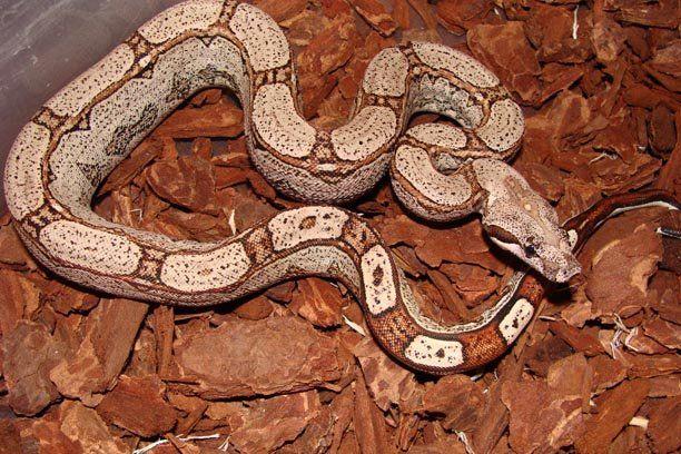 Arabesque Boa Snake Reptiles