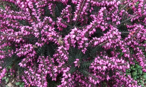 Erica Heath Great Plant For Bees Early Early Spring Will Grow In Poor Soil In The Heather Family Plants Heath Plant Magenta Flowers