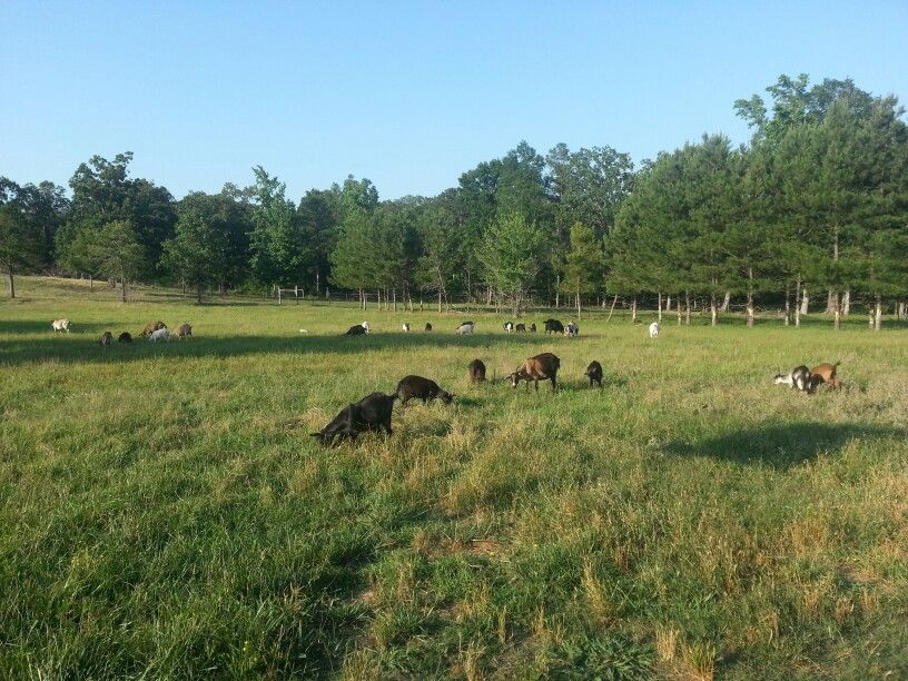 Goatvet Likes This Photo Goats Grazing A Pasture That Is Long And Has A Low Stocking Rate Hopefully Another Species Is Available To Rotate The Pastures Doga