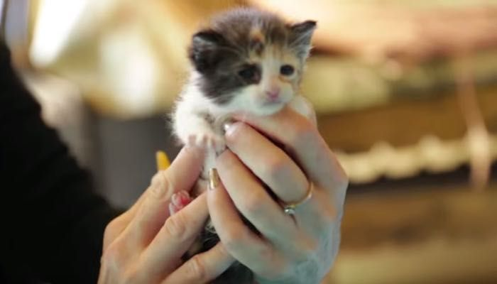 Little Calico Baby Learning To Eat At Foster Home For The First