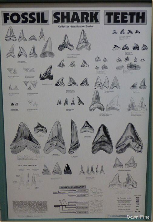 Illustrated Fossil Shark Teeth Natural History Watercolor Art