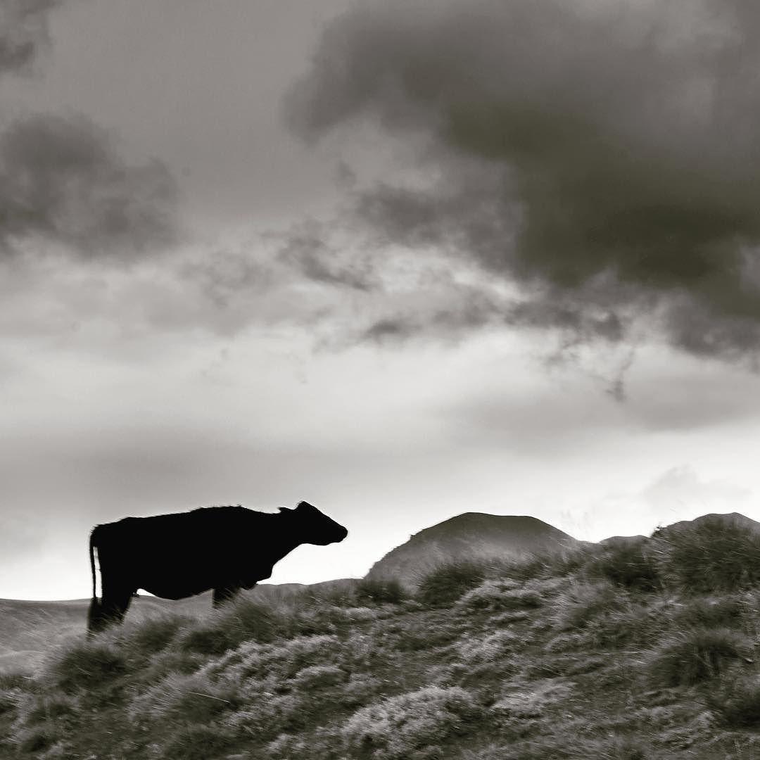 Dark Cow #mdzphoto