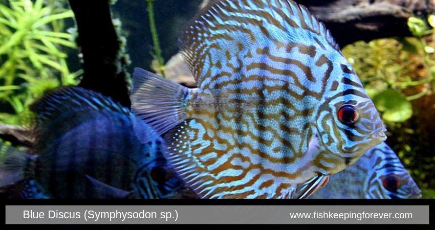 Blue Discus Fish Freshwater Fish Tropical Fish Fish Tank Coolest Freshwater Fish Pet Shop Aqua Tropical Freshwater Fish Tropical Fish Aquarium Freshwater Fish