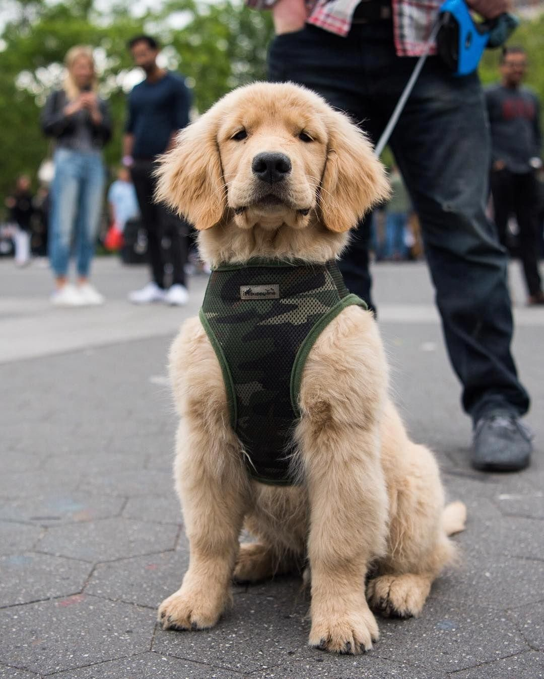 Major Golden Retriever 3 M O Washington Square Park New York Ny