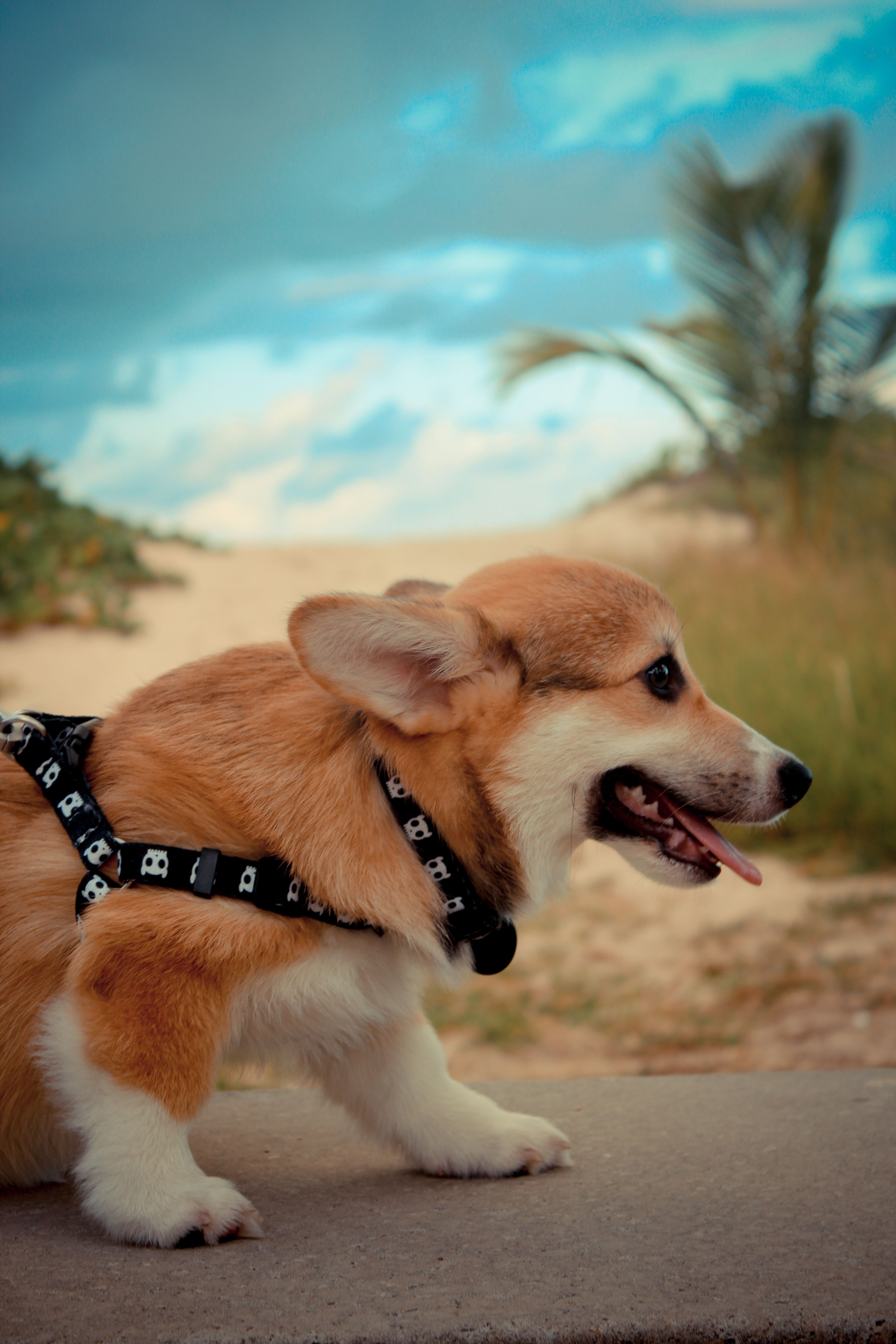 Corgi Pembroke On The Beach Blue Sky Tongue Out Puppy Corgi