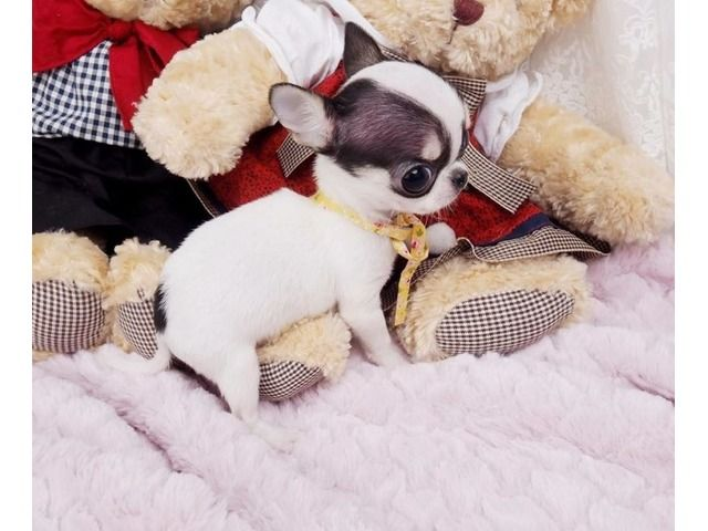 Pin By Deby Catalino On Deby Teacup Chihuahua Puppies Chihuahua Puppies Chihuahua Puppies For Sale