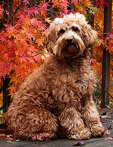 Spring Creek Labradoodles Red Australian Labradoodle Dogs Puppies Available Oregon Labradoodle Labradoodle Dogs Dogs
