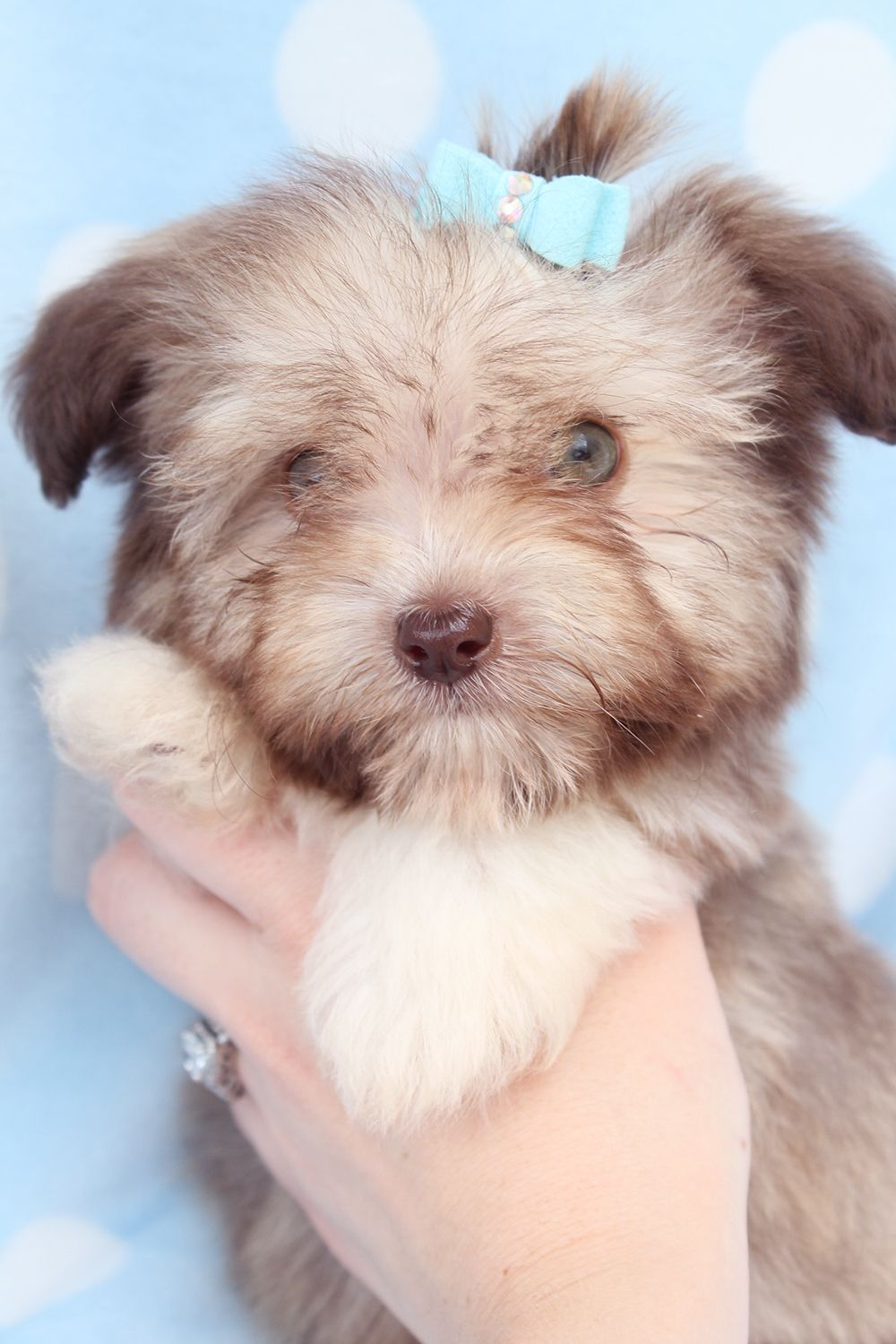 Havanese Puppy For Sale in South Florida Havanese