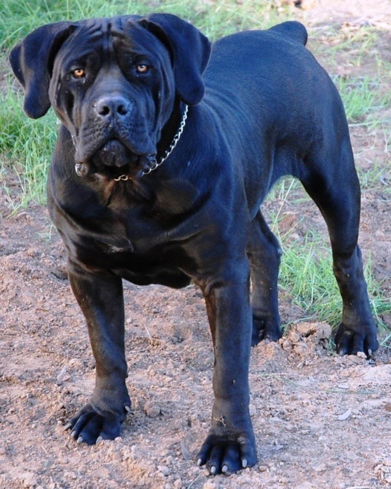 Boerboel South African Boerboel Mastiff Spitsvuur Doggie Want