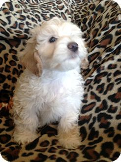 Salt Lake City Ut Havanese Poodle Miniature Mix Meet Braydon
