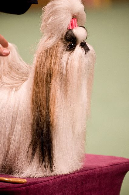 Shih Tzu Shih Tzu Shih Tzu Dog Shih Tzu Puppy