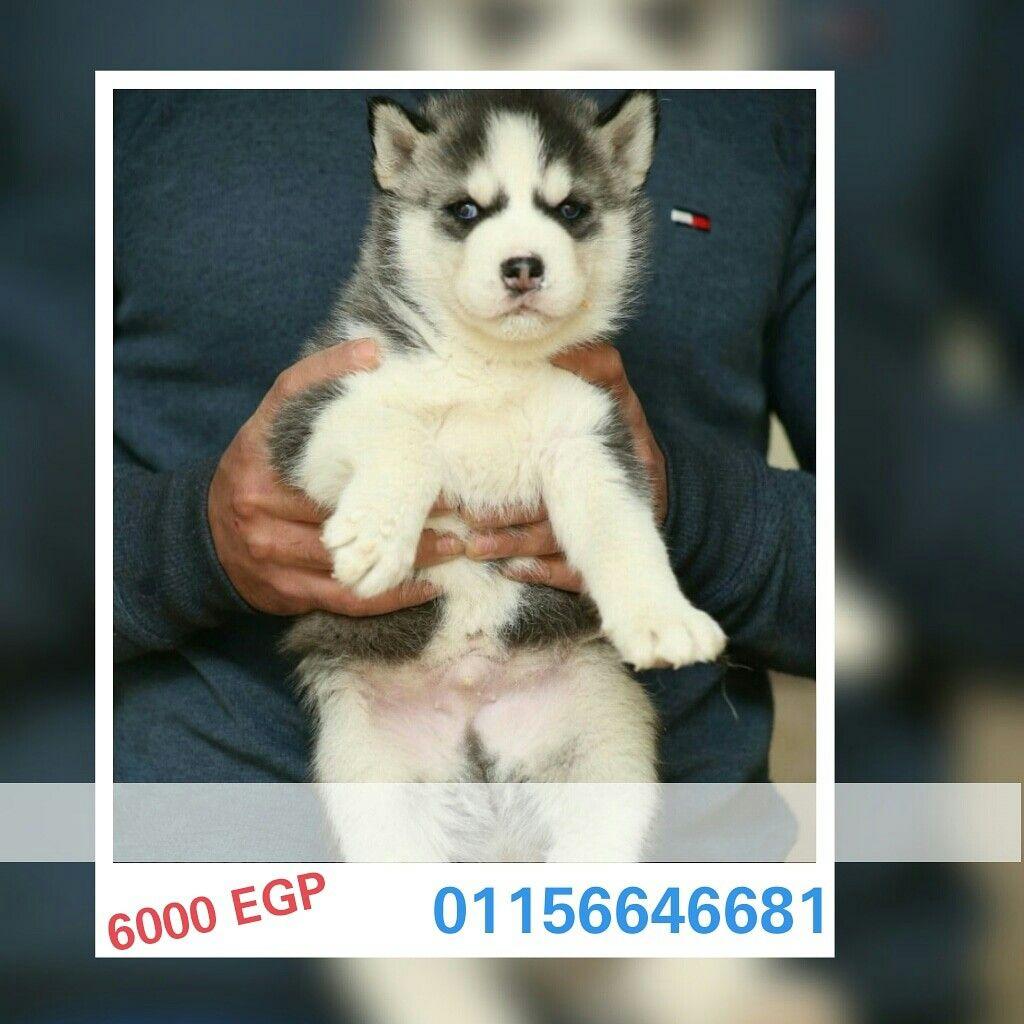 مصر الإسماعيلية كلاب هاسكي للبيع عندهم 45 يوم مطعمين Pet4sell Dogs Animals Husky