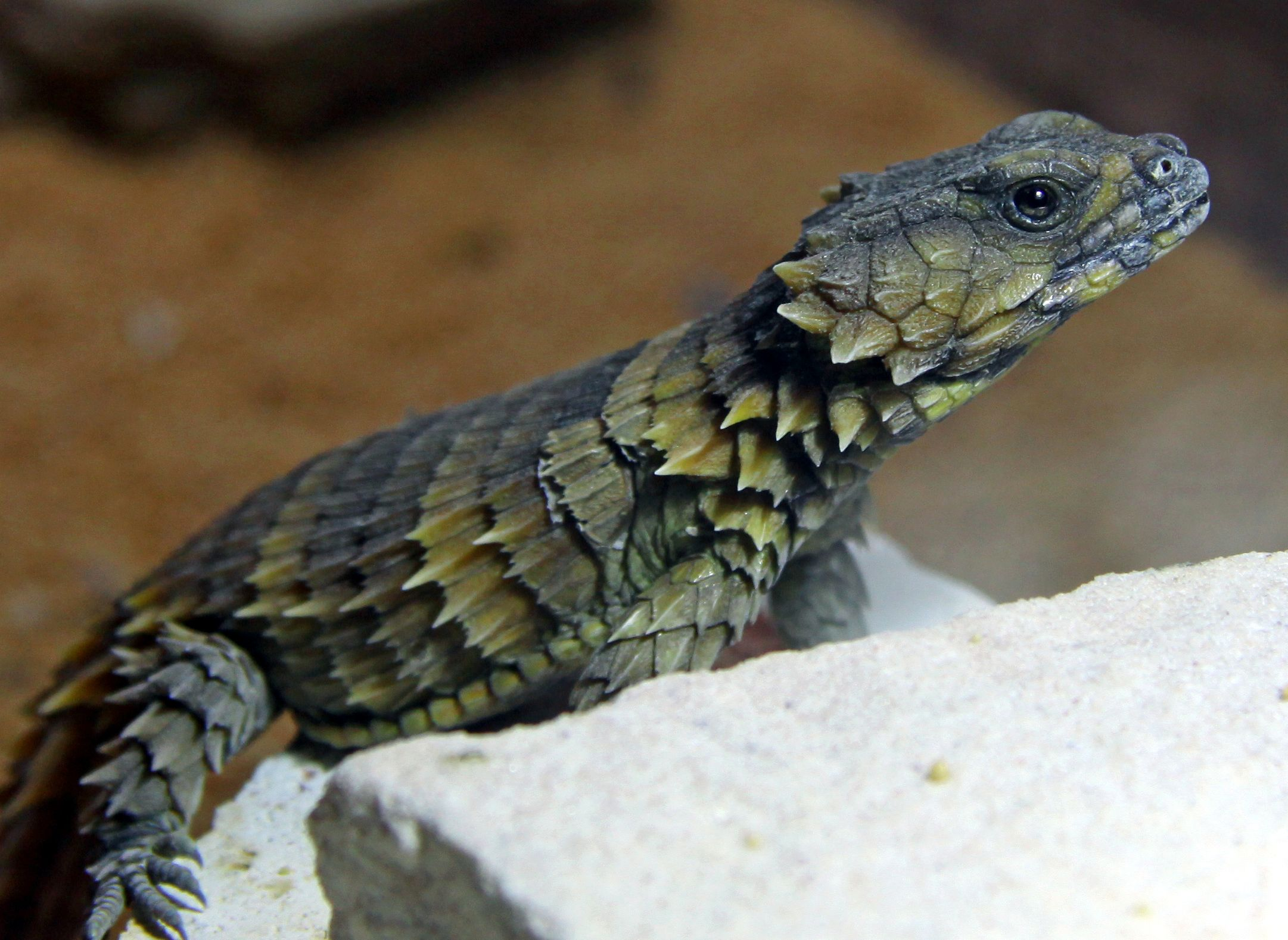 armadillo lizards cordylus cataphractus armadillo girdled lizard