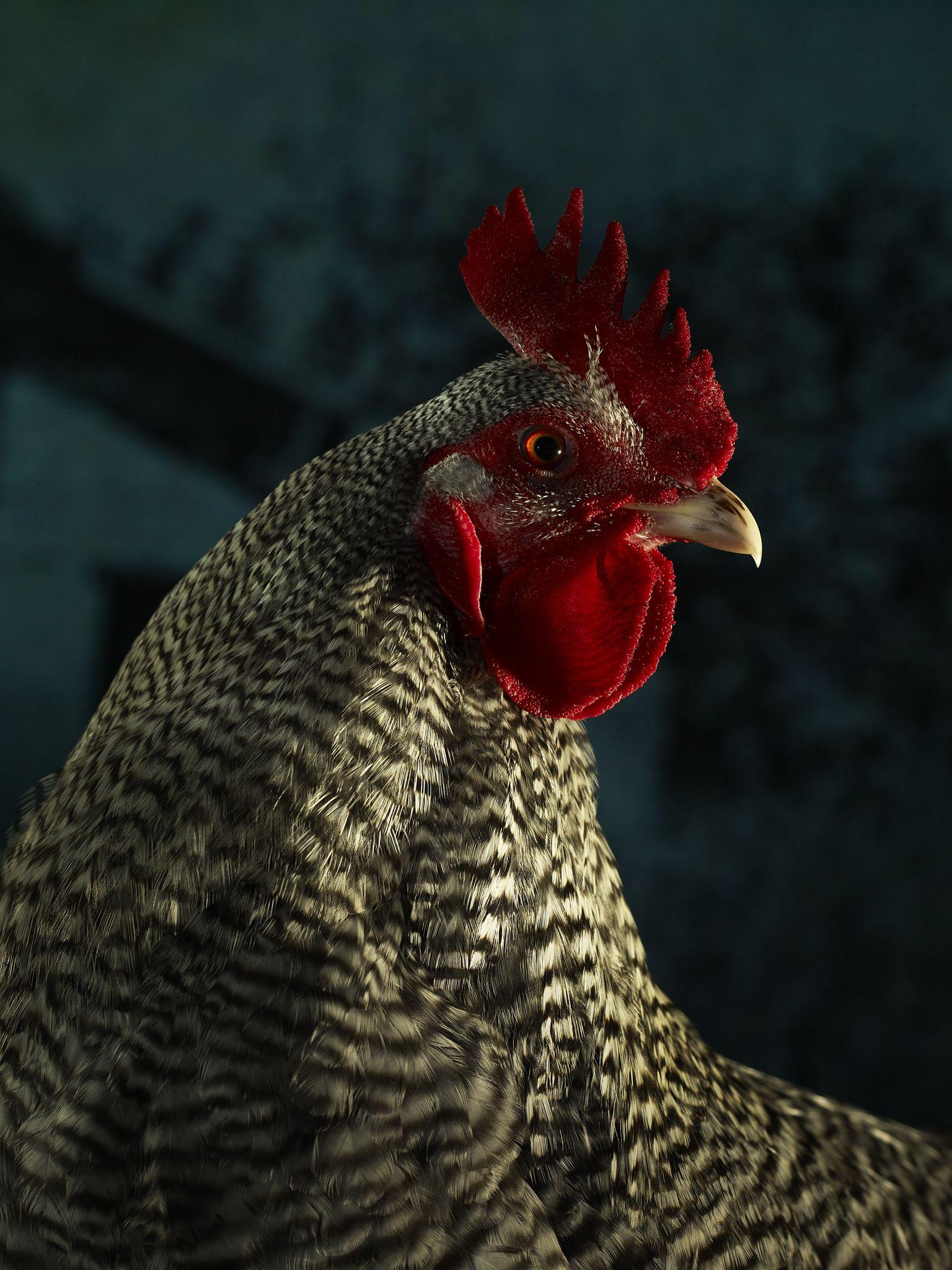 TODD MCLELLAN MOTION/STILLS INC - • Regal Chickens ...
