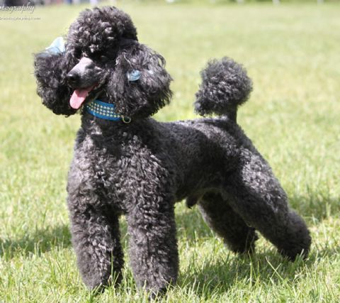 Sherzam Toy Standard Poodles Poodle Therapy Dogs Pets