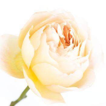 Cream Garden Rose garden rose butterscotch cream | wedding flowers | pinterest
