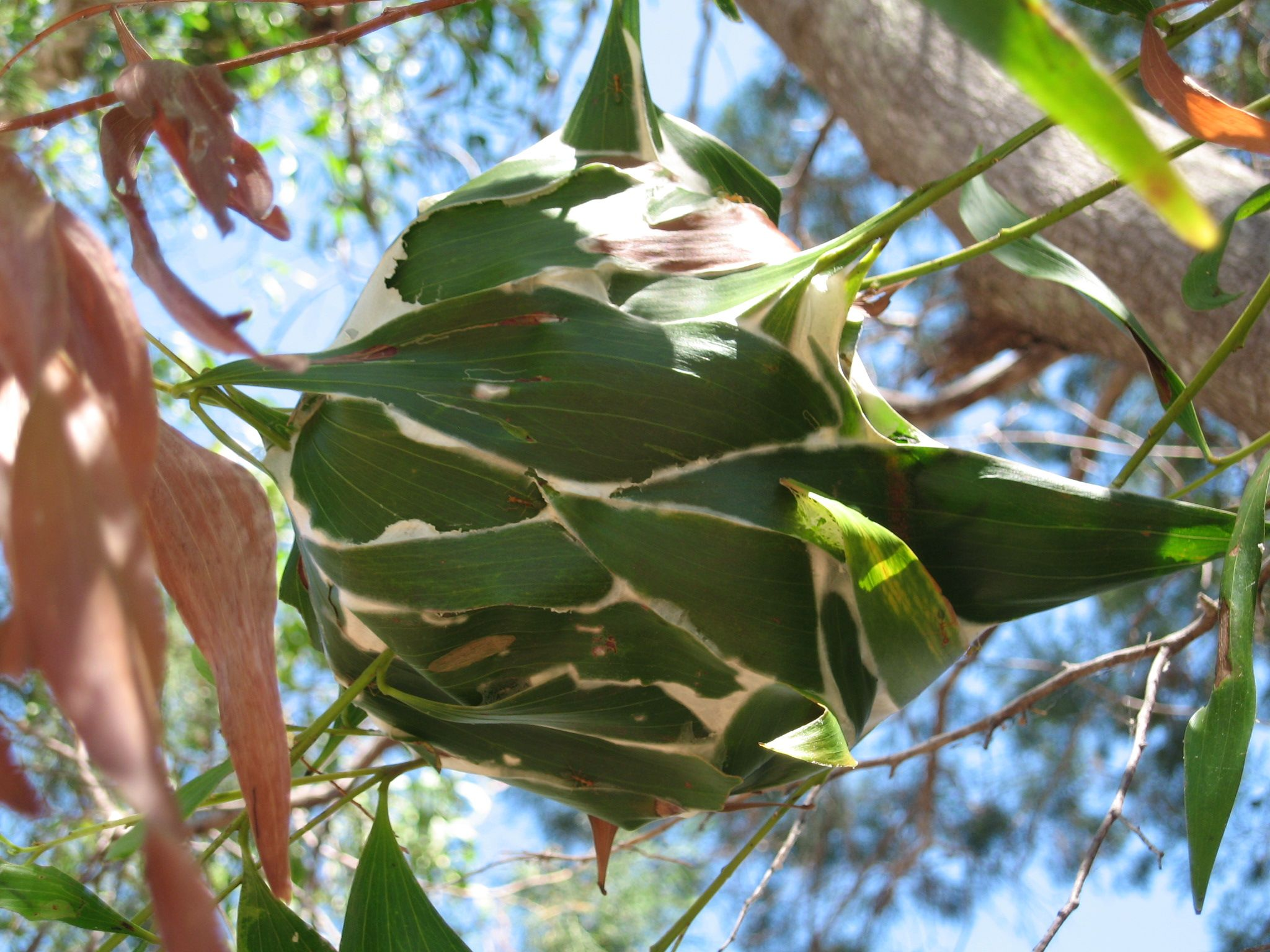 Green Ant Nest   Palm Cove   Ants, Ant insect, Animal habitats