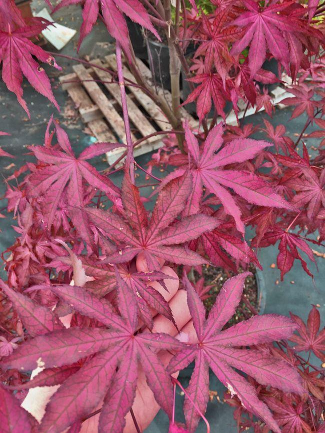 Acer Palmatum Amagi Shigure Leaves Varieties Of Japanese Maples