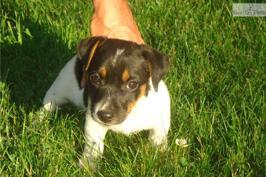 Jack russell terrier puppy for sale near nashville