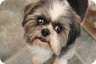 Shih Tzu Dog For Adoption In Greensboro North Carolina Cj Shih Tzu Dog Adoption Dogs