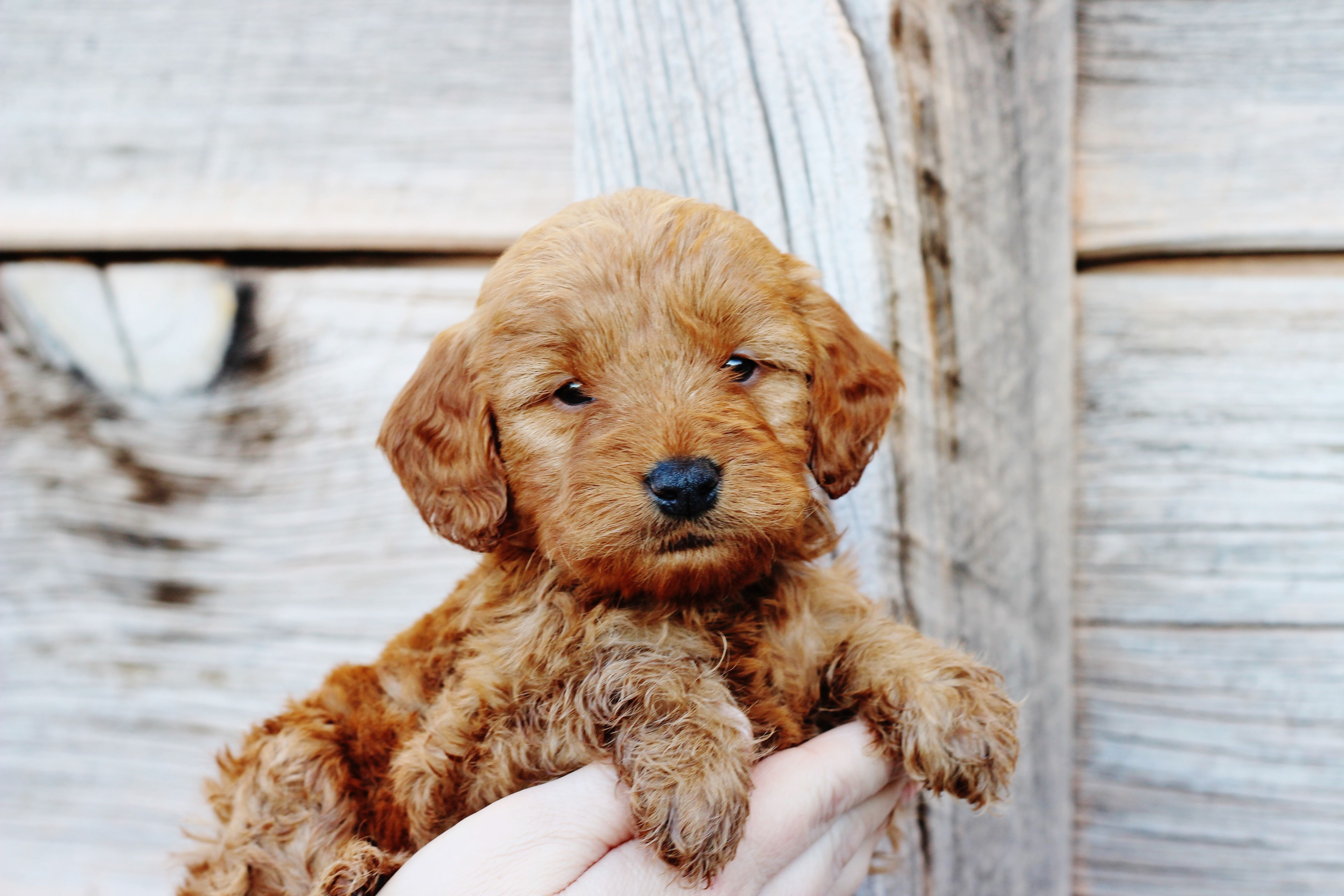 5 week old Red Mini GoldendoodleTeddy from Copper Canyon