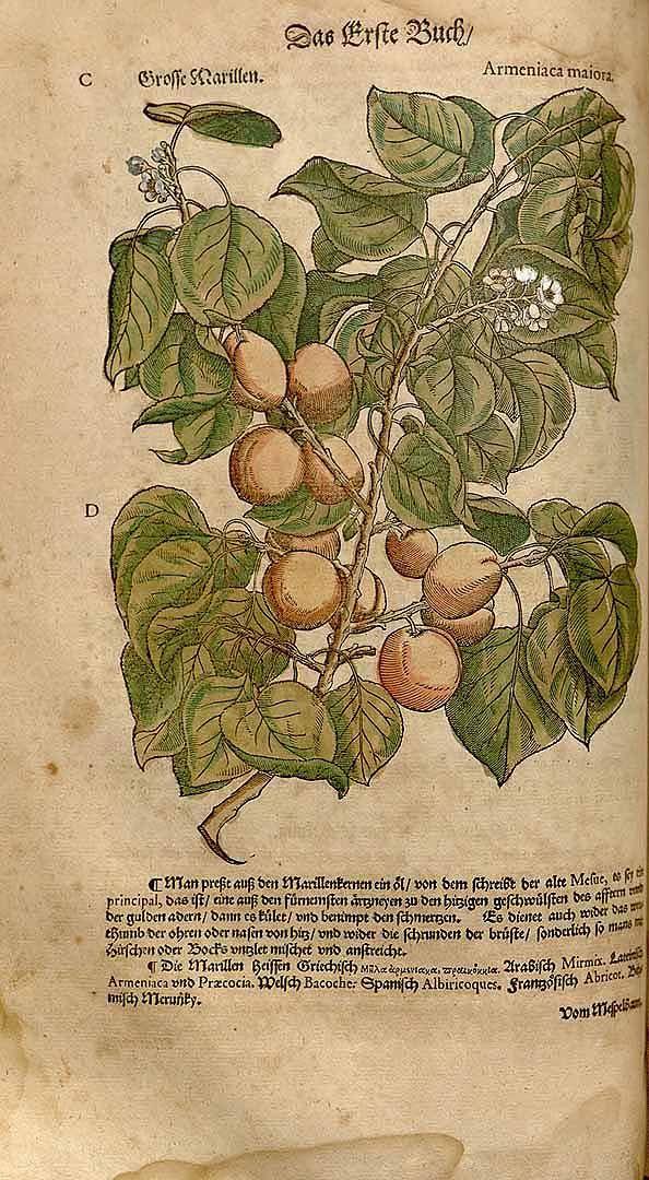 アプリコット Prunus armeniaca L. (apricot)   Mattioli (1563)