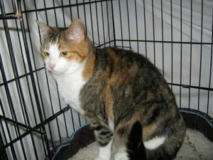 Libby -- QUIET RETIREMENT HOME NEEDED! is an adoptable Domestic Short Hair Cat in Weare, NH. QUIET RETIREMENT HOME NEEDED! This sweet, gentle cat came to WAG when the road crew found her in one of the...