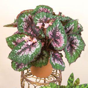 Pin Na Doske Bodacious Begonias