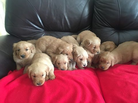 Litter Of 9 Golden Retriever Puppies For Sale In Darlington Mo