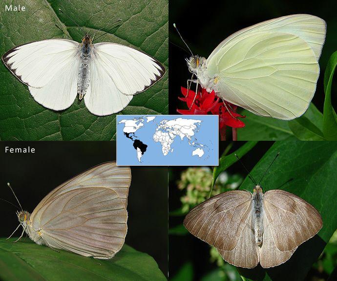Great Southern White   Ascia monuste   Wingspan: 2.0 to 3.4 in  Family: Peiridae   Subfamily: Pierinae  Photos © Ryan G. Fessenden