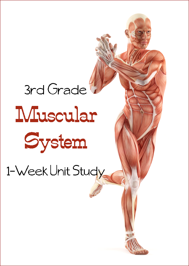 Learn the Muscular System {Third Grade Unit Study}   Cuerpo humano ...