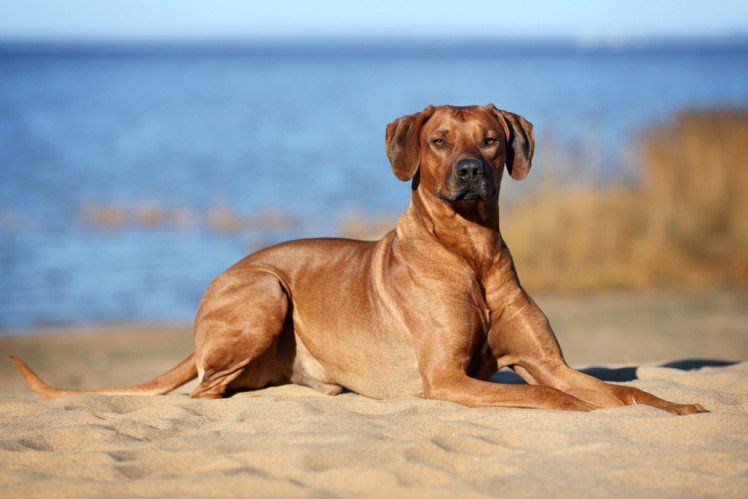Rhodesian Ridgeback Known For Being A Great Hunting Dog They Can Be Very Loyal To Their Owners But Not So Much Towards Strangers A V Kopek Hayvanlar Resim