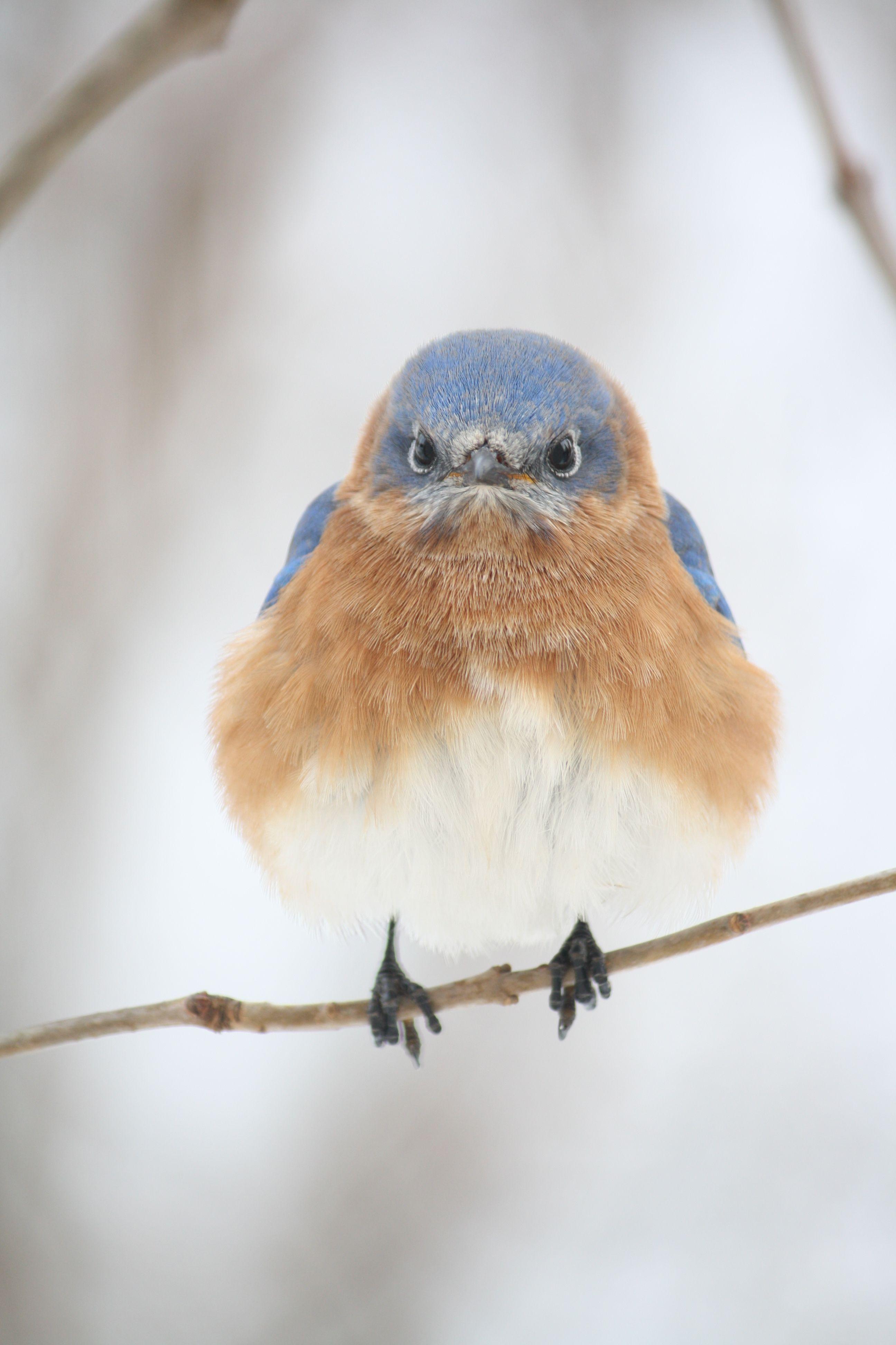 bluebird looks like he has a case of the grumps birds
