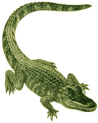Definitely Need More Alligator Tattoos With Images Alligators Art Alligator Tattoo Alligator