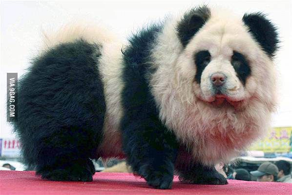 Pin By Jos Capps On Dog Cats Panda Dog Panda Bear Panda
