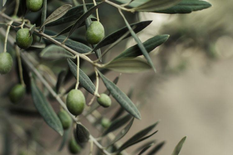 comment-planter-olivier-plantes-méditerranéennes ...