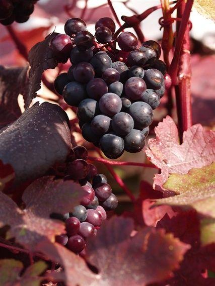 autumn ros claret cabernet autumn inspirations pinterest halloween und herbst. Black Bedroom Furniture Sets. Home Design Ideas