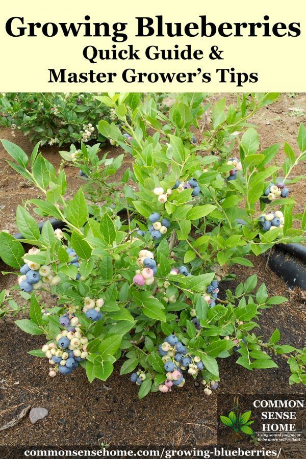 Blueberries - Quick Guide and Master Grower's Tips Quick guide on how to grow blueberries in the garden, plus detailed information to help you plant blueberries and produce your best blueberry harvest ever. Blueberry soil prep, spacing, fertilizer, care, bird protection and tips for container growing.
