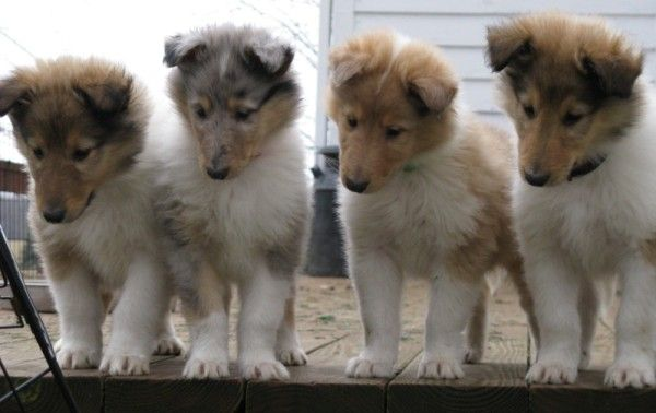 Google Image Result For Http Familycollies Com Images Porchimg 0117 600 X 37 Collie Puppies Collie Dog Cute Baby Animals