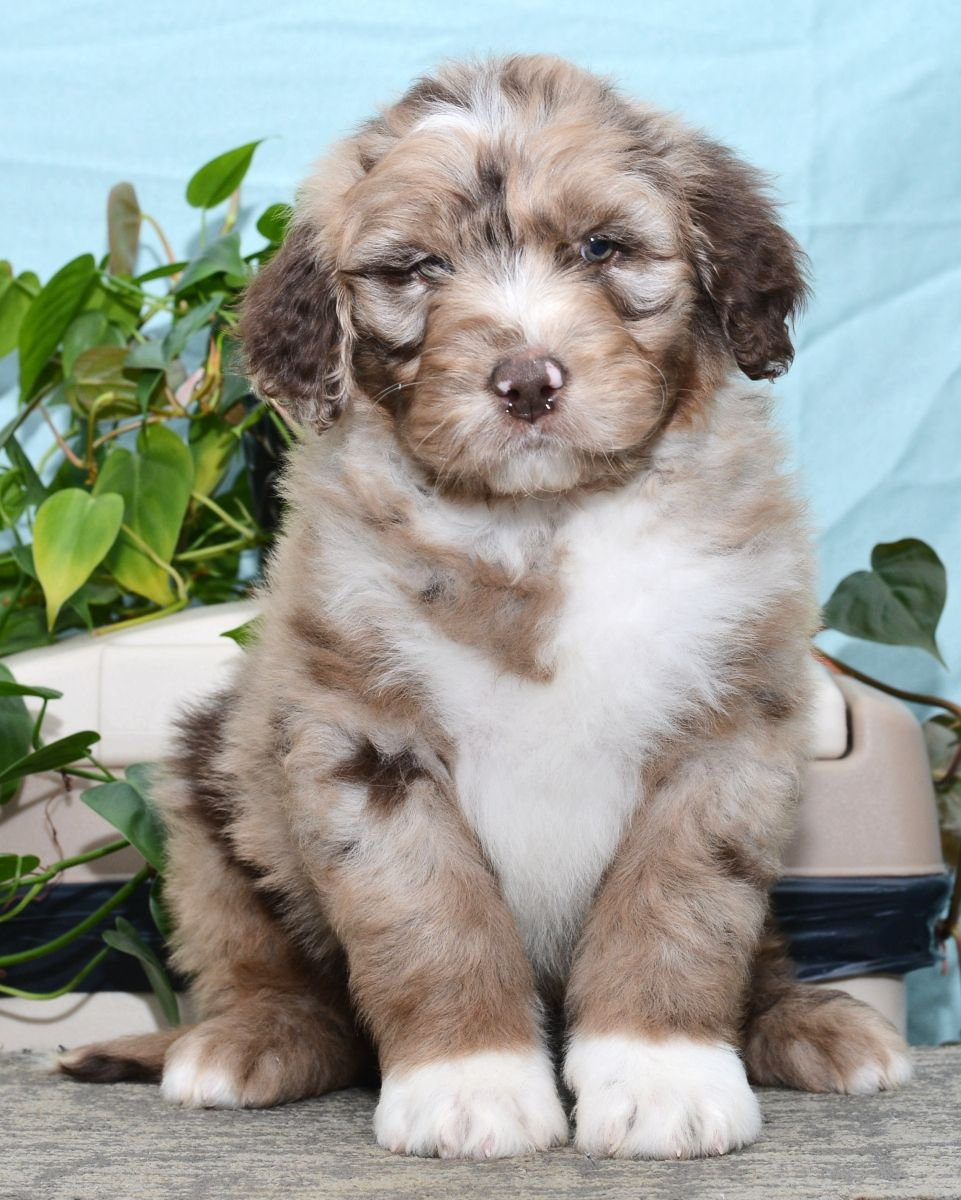 Puppies for Sale Puppies, Lancaster puppies, Dog breeder