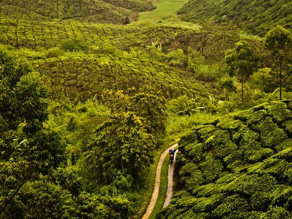 Tea plantation, Malaysia Nature and Landscapes – Photo Tips – National Geographic
