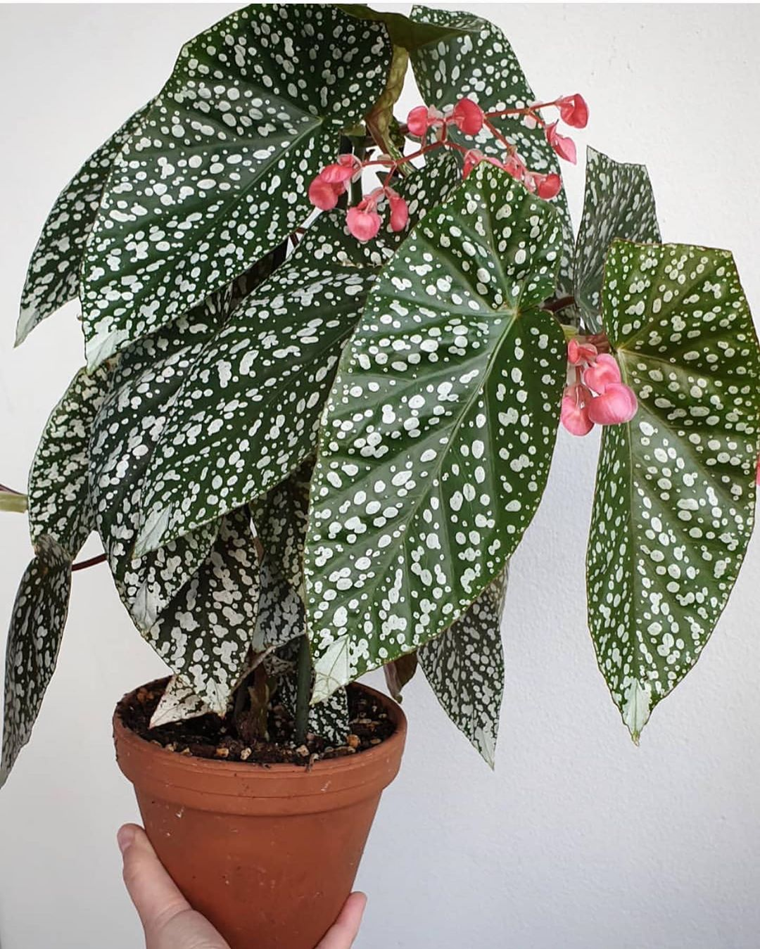 The Begonia Brigade On Instagram Begoniasnowcap By Kamilase Plants Houseplants Urbanjungle Indoorjungle Container Garden Design Plants Foliage Plants