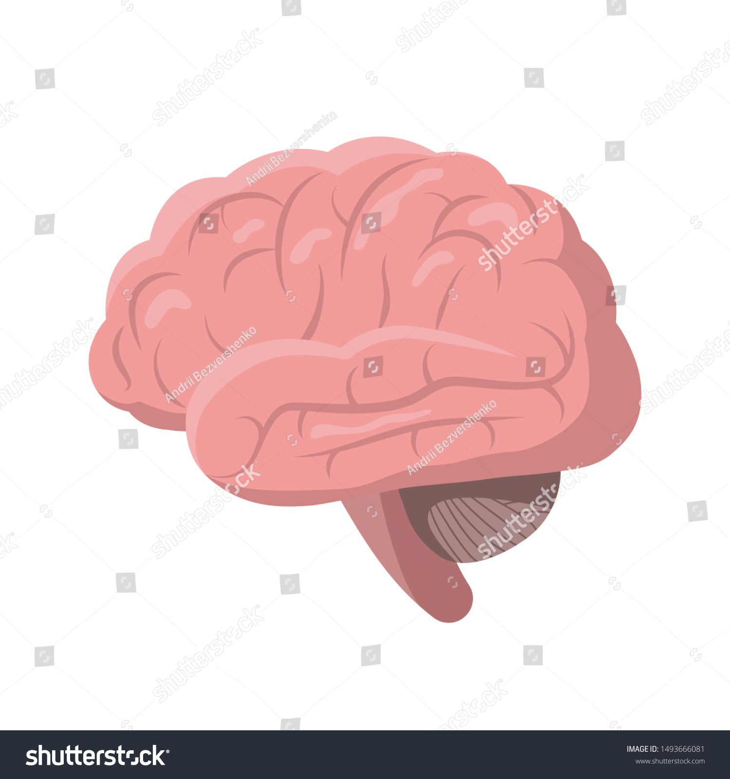 Human Brain isolated on white background, vector ...