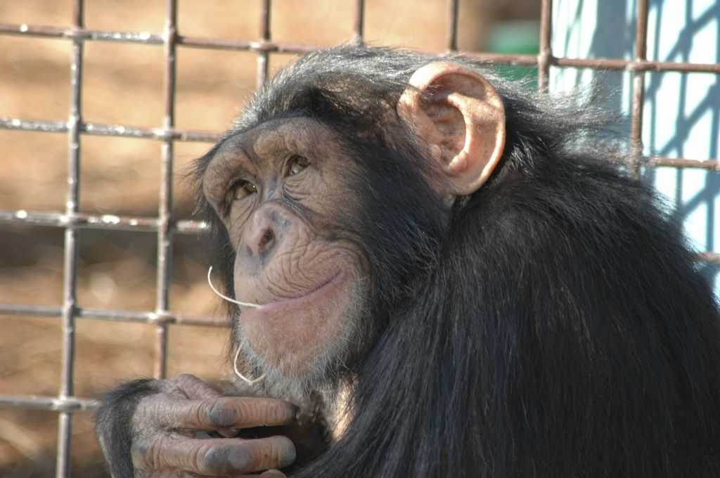 Your Next Facebook Share Zoos Are Usually Not Educational Peta Chimp Zoo Chimpanzee