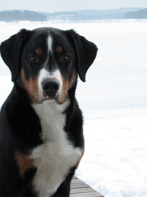 Appenzeller Sennenhund Appenzeller Appenzell Cattle Dog Appenzeller Mountain Dog Entlebucher Mountain Dog Dog Breeds Appenzeller Dog